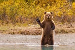 Grizzly im Fluss mit erhobener Pfote