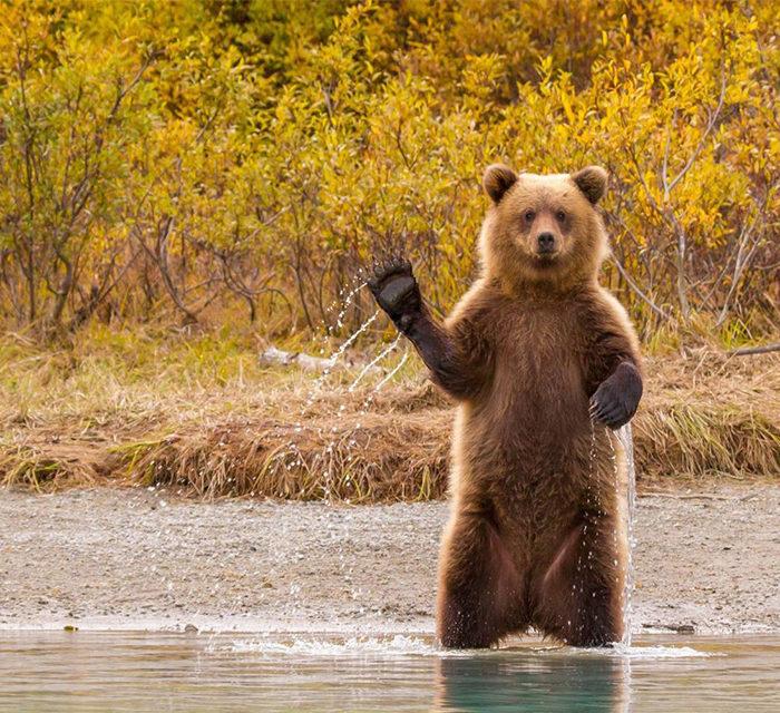 Bärenbegegnung mit einem Grizzly