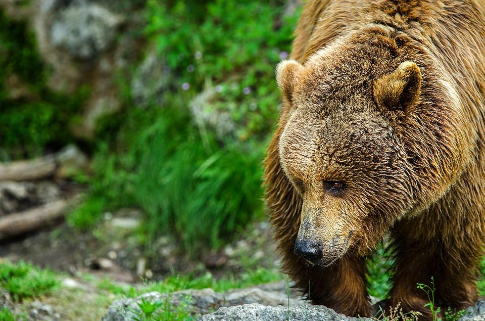 der Grizzly - eine der Bärenarten in Kanada