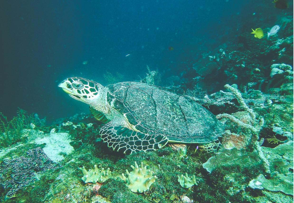 Schildkröte im Wakatobi Nationalpark Unterwasserwelt