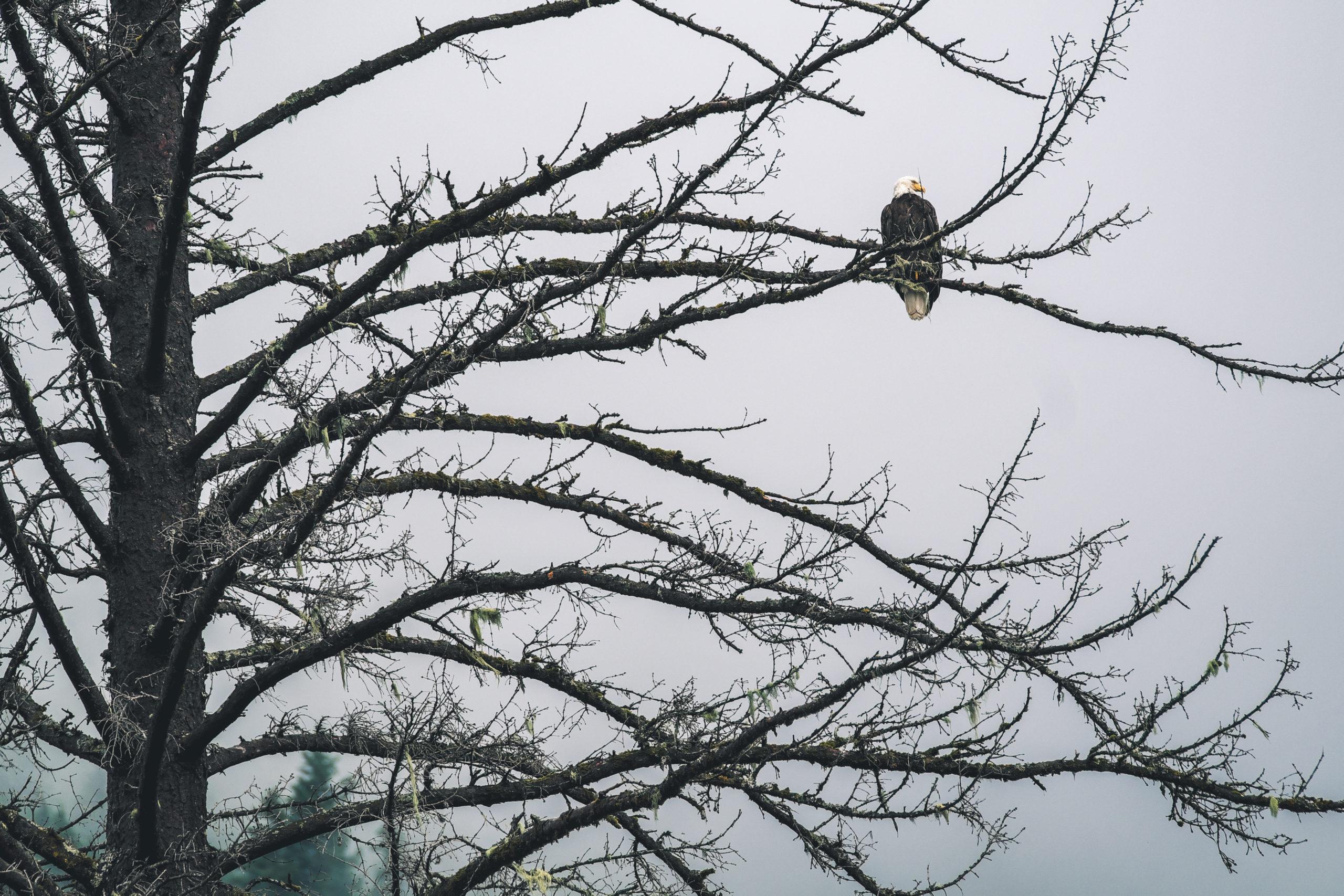 Weißkopf Seeadler in Kanada im Baum